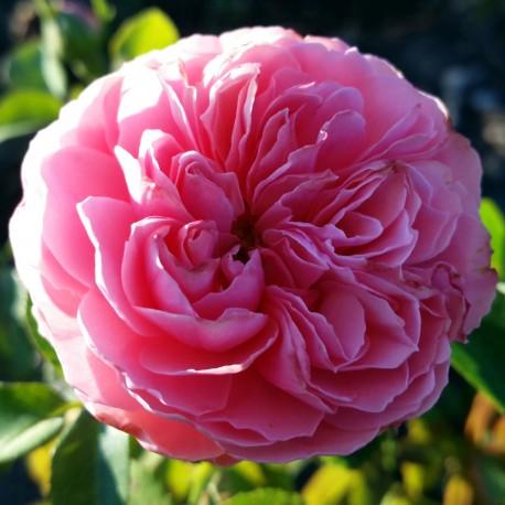 Sadike vrtnic Leonardo da Vinci