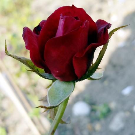 Sadike vrtnic Black Baccara