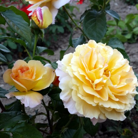 Sadike vrtnic Marco Polo