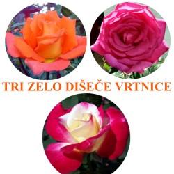 Zelo dišeče vrtnice - paket treh sadik št.:1