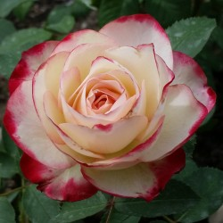 Sadike vrtnic Prince de Monaco