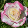 Sadike vrtnic Princess de Monaco