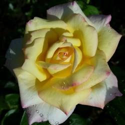 Sadike vrtnic Gloria Dei