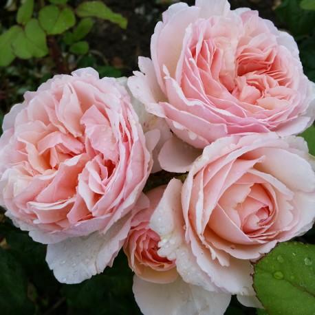 Sadike vrtnic Princess Charlene de Monaco
