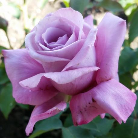 Sadike vrtnic Charles de Gaulle