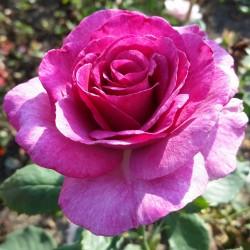 Sadike vrtnic Melody Parfumee