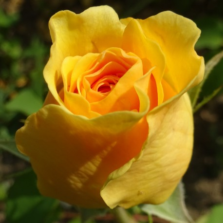 Sadike vrtnic Graham Thomas