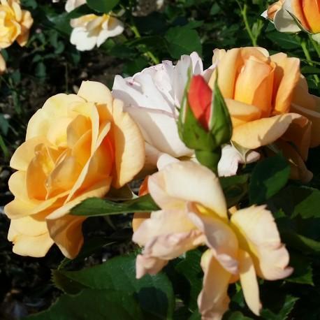 Sadike vrtnic Portorož