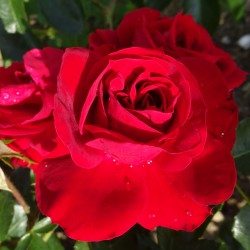 Sadike vrtnic Amadeus