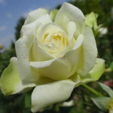 Sadike vrtnic Creme de la Creme