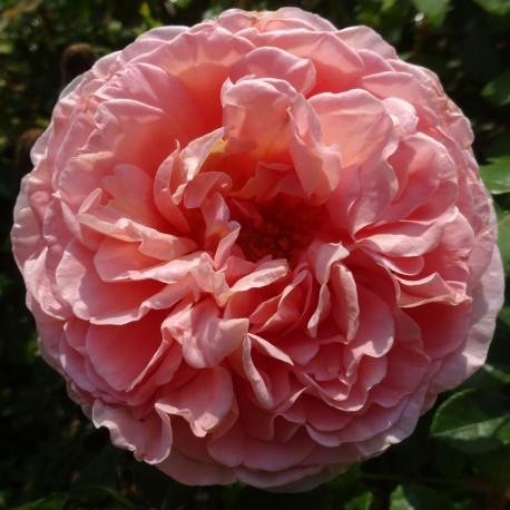 Sadike vrtnic Abraham Darby