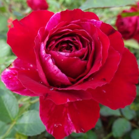 Sadike vrtnic Deep Impression
