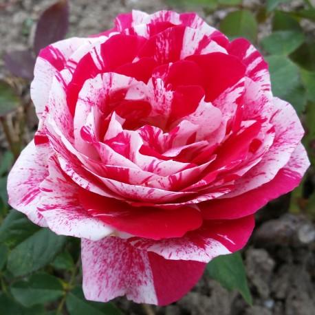 Sadike vrtnic Scentimental