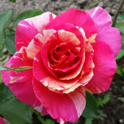 Sadike vrtnic Claude Monet