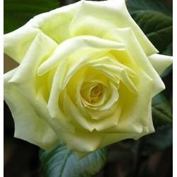 Sadike vrtnic Elfe