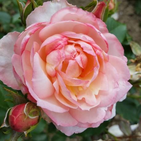 Sadike vrtnic Trubar