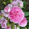 Sadike vrtnic Jasmina