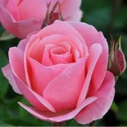 Sadike vrtnic The Queen Elizabeth