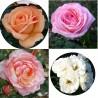 Paket slovenski vrtnic - paket štirih sadik
