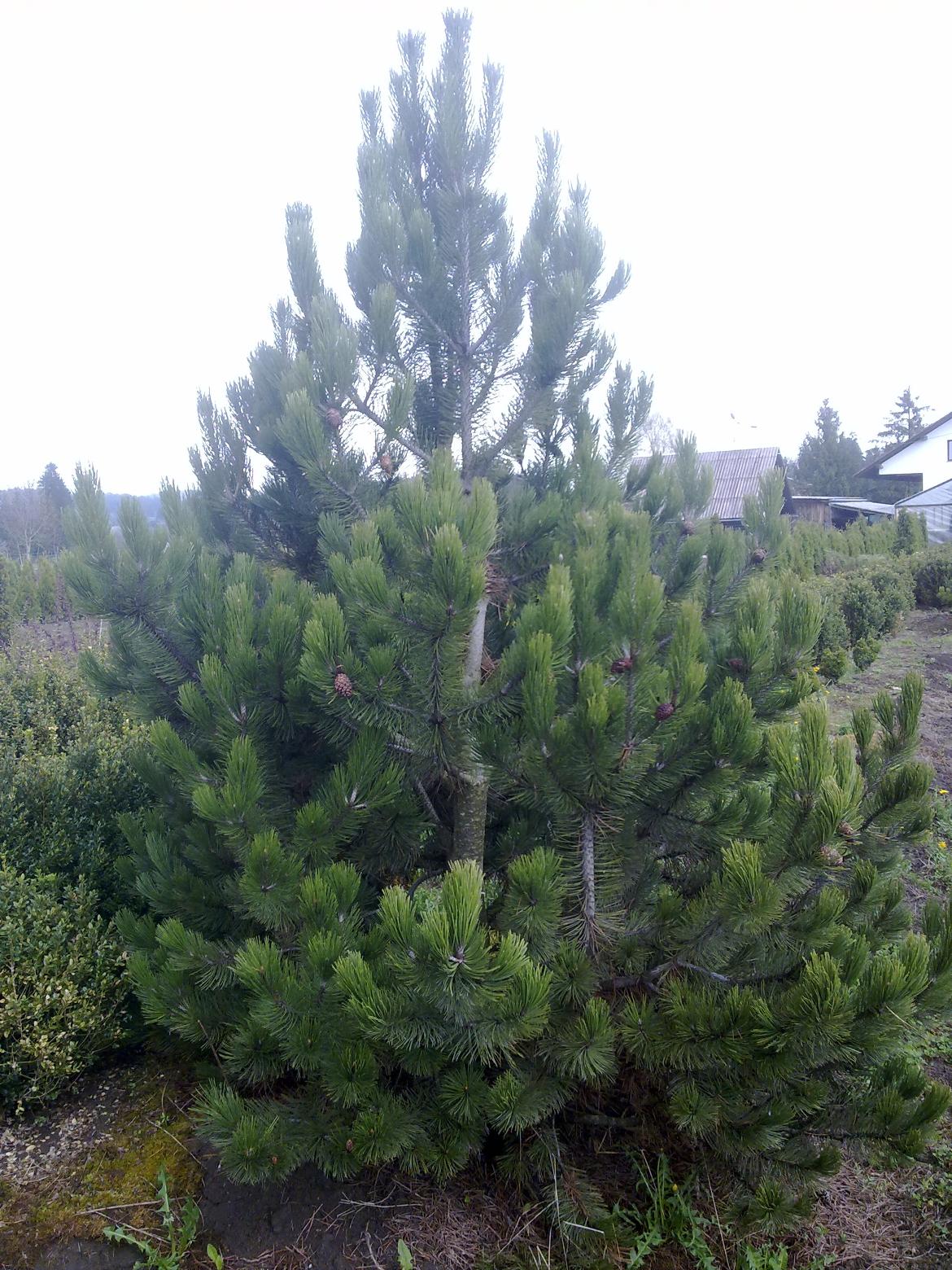 Pinus%20Leucodermis.jpg