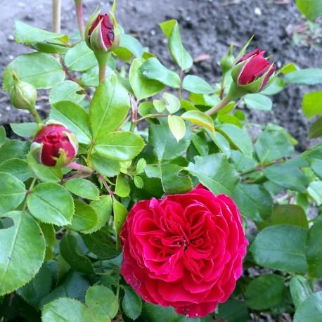 Sadike vrtnic Red Leonardo da Vinci