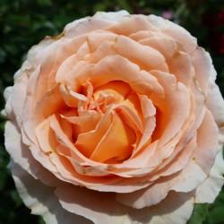 Sadike vrtnic Polka