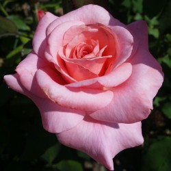 Sadike vrtnic Silvia
