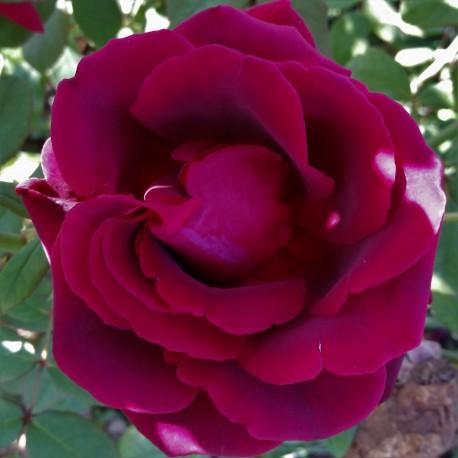 Sadike vrtnic Crimson Glory Climber