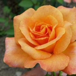 Sadike vrtnic Remy Martin