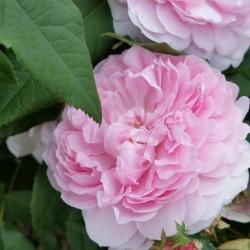Sadike vrtnic Jacques Cartier