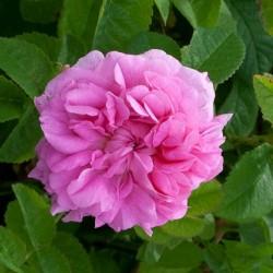 Sadike vrtnic Kazanlik
