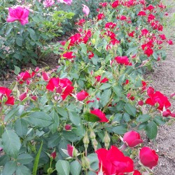 Sadike vrtnic Black Forest