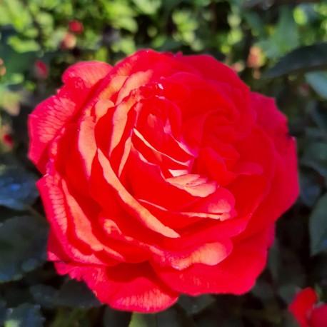 Sadike vrtnic Super Star CLG